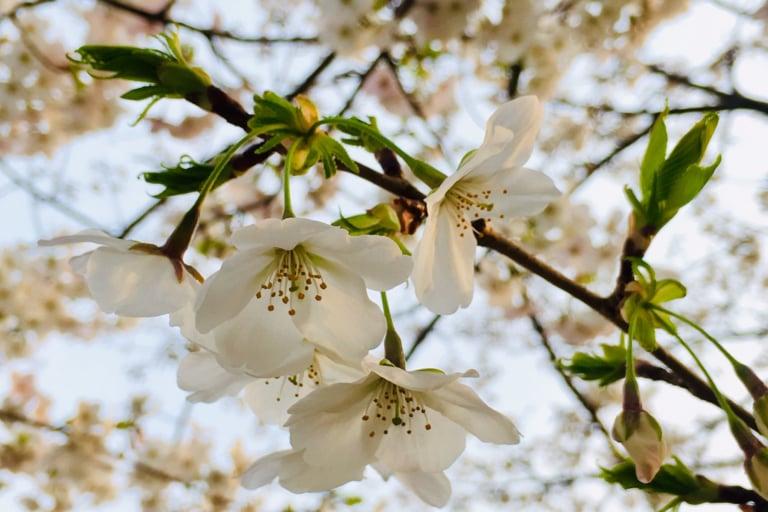 【多摩市】乞田川の桜満開♪第31回多摩センター桜まつりが開催されますよ!