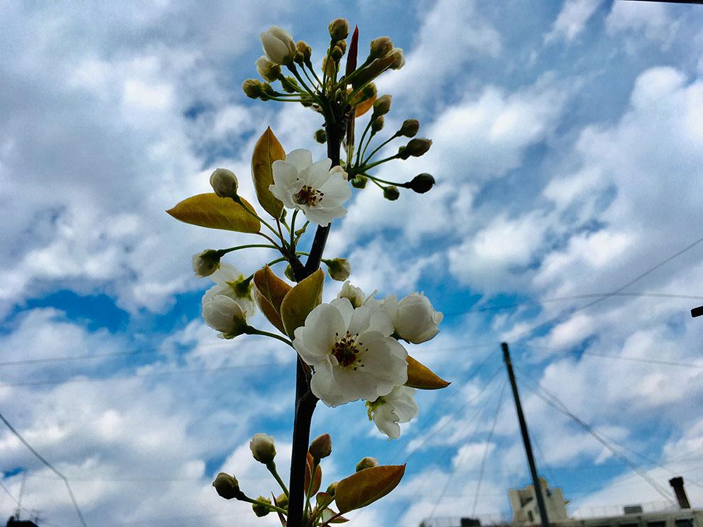 稲城市梨の花と空
