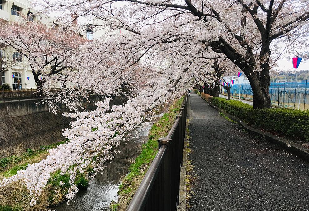 稲城市三沢川沿い桜2