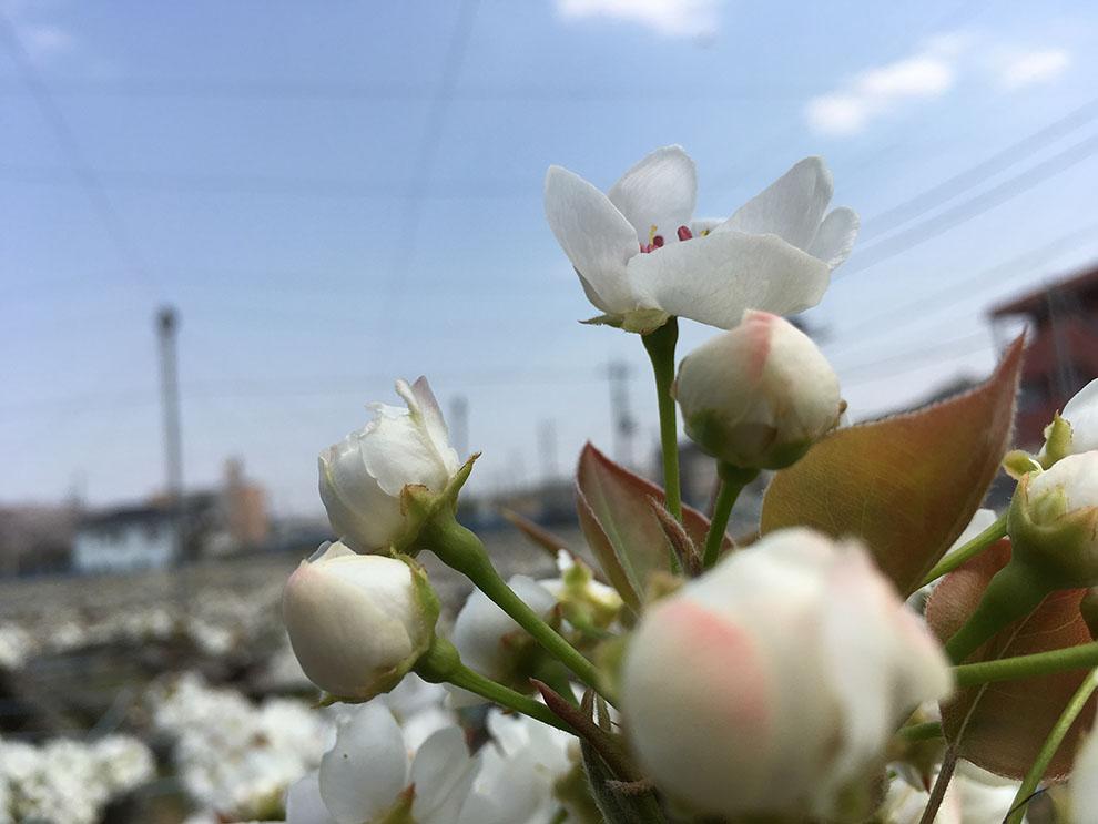 稲城市梨は4月ごろこんな可愛い花を咲かせていました