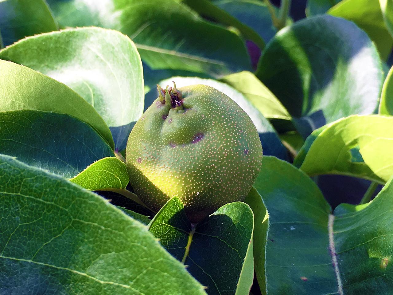 稲城市で小さな梨の実がなりはじめています