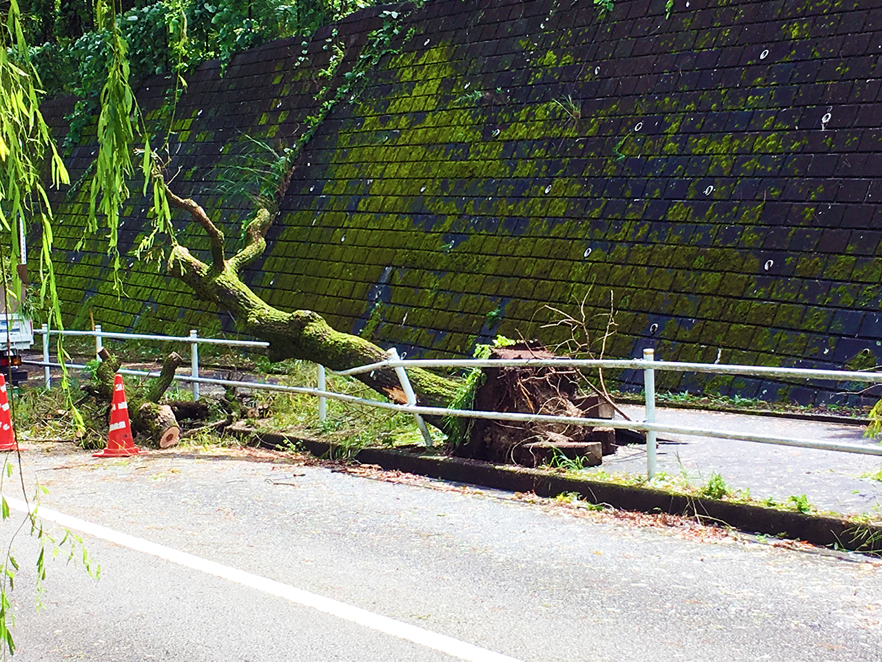 多摩市の道に倒木