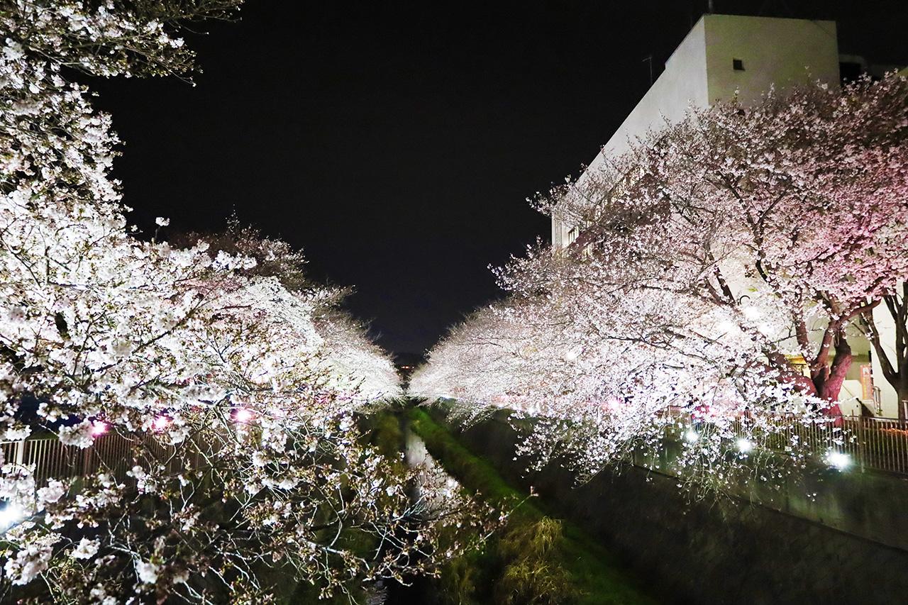 第11回桜・梨の花まつりのライトアップが見頃です