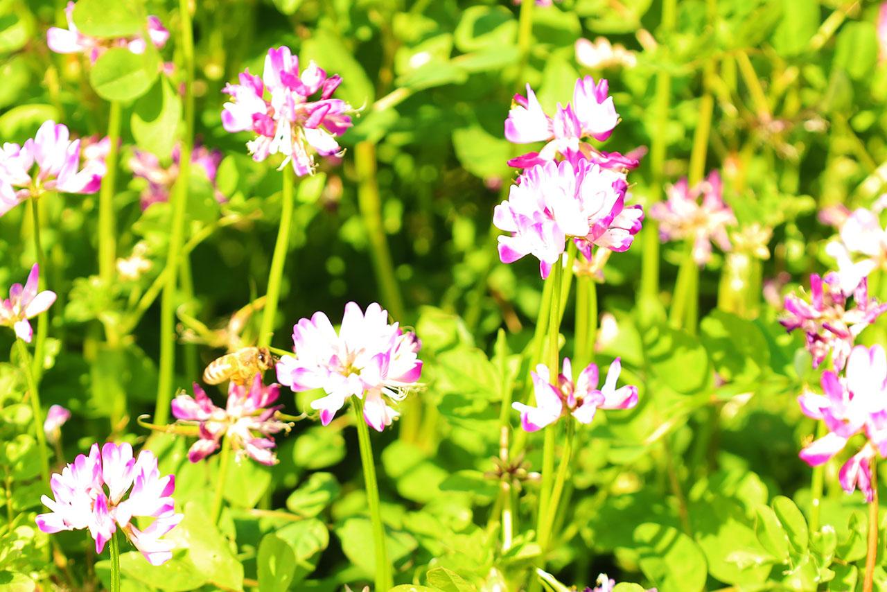 """大丸用水路付近で「れんげの花」が見頃♪稲城産の""""れんげはちみつ""""もいただきました♪"""